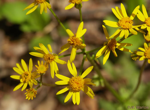 flower of Packera obovata, Roundleaf Ragwort, Roundleaf Groundsel, Spatulate-leaved Ragwort, Running Ragwort