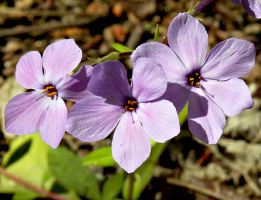 flower of Phlox stolonifera, Creeping Phlox