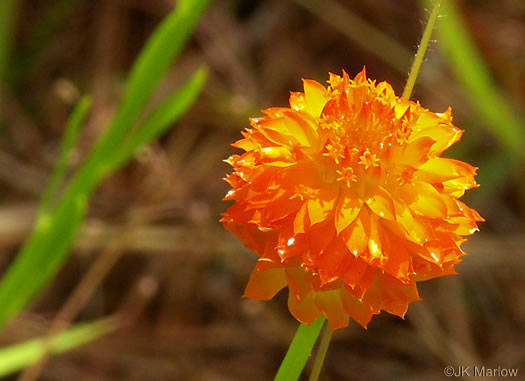 flower of Polygala lutea, Orange Milkwort, Red-hot-poker, Candyroot