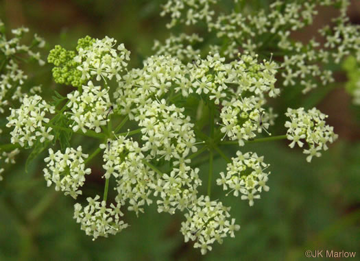 flower of Conium maculatum, Poison Hemlock