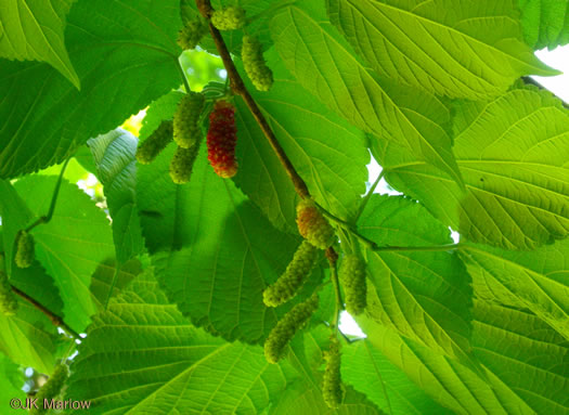 image of Morus rubra, Red Mulberry