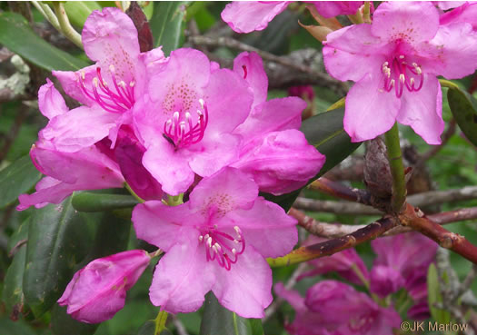 flower of Rhododendron catawbiense, Catawba Rhododendron, Mountain Rosebay, Purple Laurel, Pink Laurel