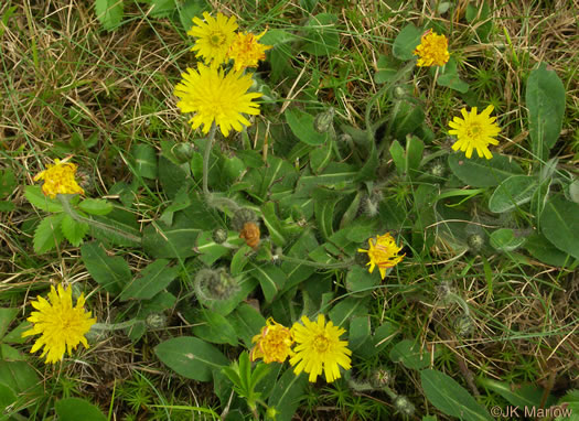 image of Pilosella officinarum, Mouse-ear Hawkweed