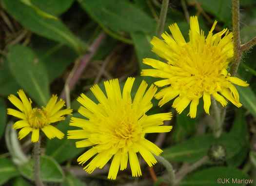 flower of Pilosella officinarum, Mouse-ear Hawkweed