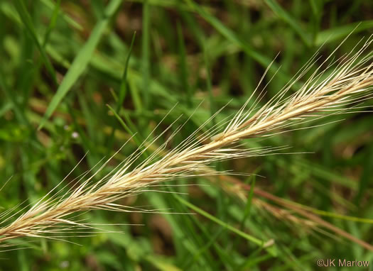 panicle: Festuca myuros, Rat-tail Fescue