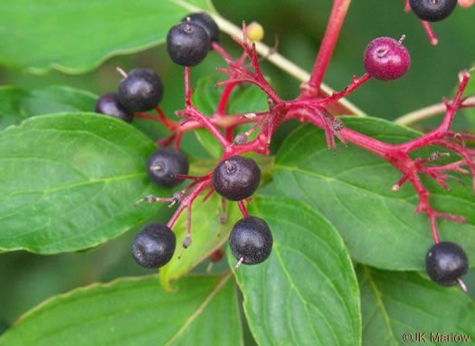 fruit of Swida alternifolia, Alternate-leaf Dogwood, Pagoda Dogwood, Pagoda Cornel