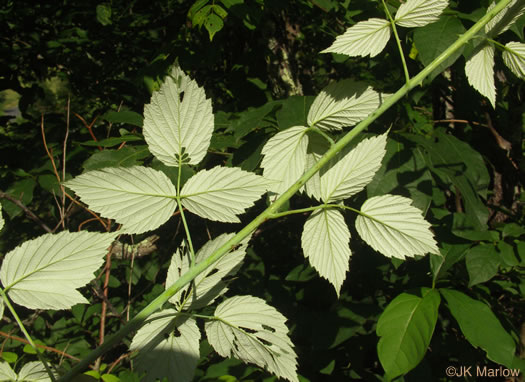 tomentose: Rubus occidentalis, Black Raspberry