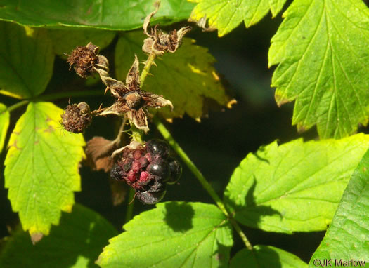 pedicel: Rubus occidentalis, Black Raspberry