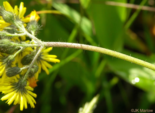 Pilosella caespitosa, Field Hawkweed, Yellow King-devil, Meadow Hawkweed