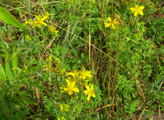 image of Hypericum perforatum, European St. Johnswort, Common St. Johnswort