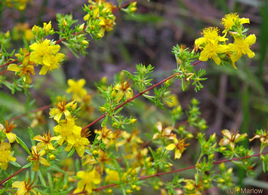 flower of Hypericum galioides, bedstraw St. Johnswort