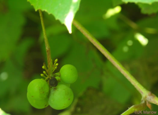image of Vitis labrusca, Fox Grape