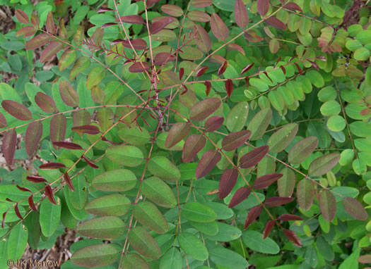 pinnately compound leaves of shrubs: Amorpha glabra, Amorpha glabra, Amorpha glabra