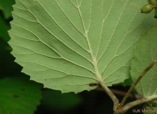 image of Viburnum carolinianum, Carolina Arrowwood