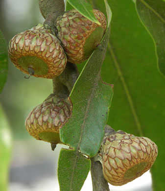 fruit of Quercus imbricaria, Shingle Oak