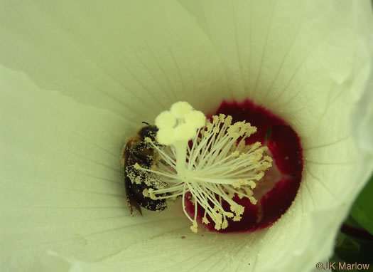 image of Hibiscus moscheutos, Eastern Rose-mallow, Swamp Rose-mallow, Wild Cotton