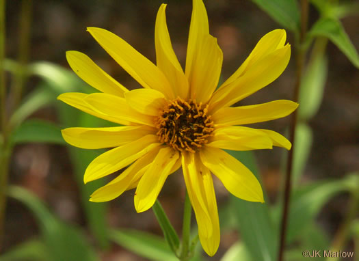 image of Helianthus laetiflorus, Showy Sunflower, cheerful sunflower