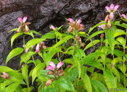 image of Chelone obliqua +, Purple Turtlehead