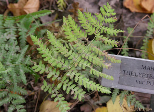 image of Thelypteris palustris var. pubescens, Marsh Fern