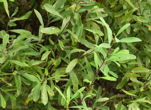 image of Myrica gale, Sweet-gale