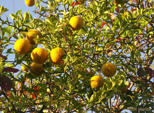 image of Citrus trifoliata, Trifoliate Orange, Hardy Orange