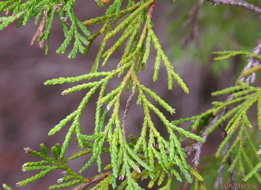 Chamaecyparis thyoides, Atlantic White Cedar, Juniper