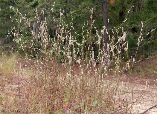 image of Froelichia floridana, Common Cottonweed, Florida Cottonseed