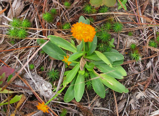 image of Polygala lutea, Orange Milkwort, Red-hot-poker, Candyroot