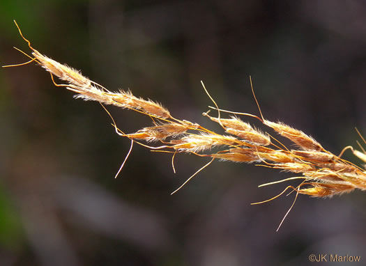 fruit of Indiangrass species: Sorghastrum nutans, Sorghastrum nutans, Sorghastrum nutans