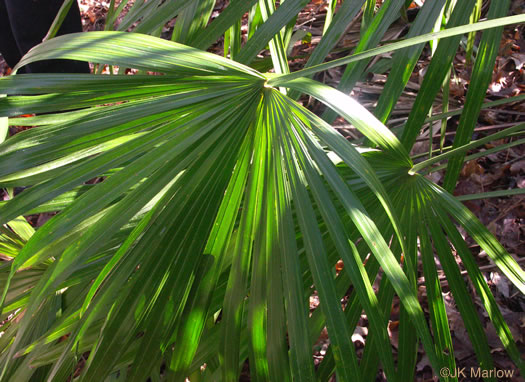 image of Rhapidophyllum hystrix, Needle Palm, Blue Palmetto