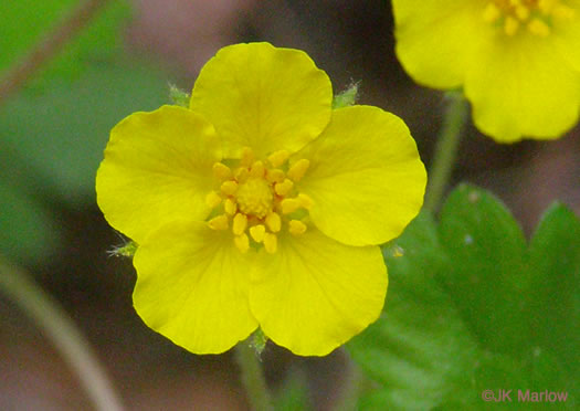 flower of Potentilla canadensis, Dwarf Cinquefoil, Running Five-fingers