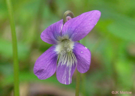 flower of Viola palmata, Early Blue Violet, Wood Violet, Palmate-leaved Violet