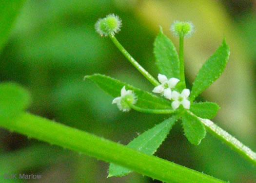 fruit of Galium, Geum and Sanicula species: Galium aparine, Galium aparine, Galium aparine