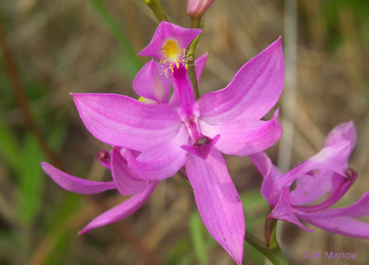flower of Calopogon tuberosus var. tuberosus, Common Grass-pink