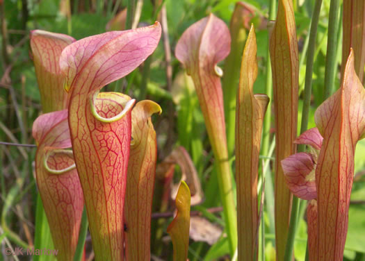 Sarracenia jonesii, Mountain Sweet Pitcherplant