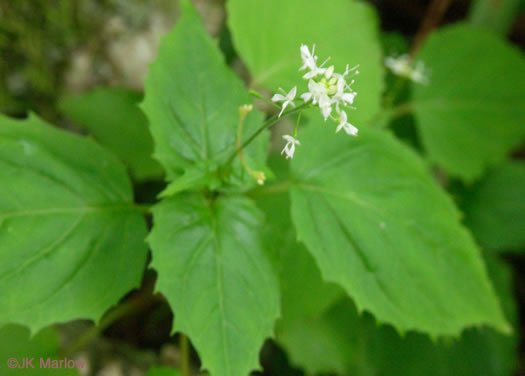 flower of Circaea alpina ssp. alpina, Alpine Enchanter's Nightshade, Smaller Enchanter's Nightshade