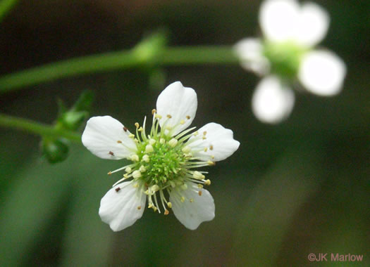flower of Geum canadense, White Avens