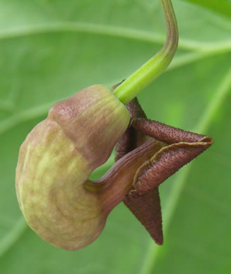 sepals or bracts of Isotrema macrophyllum, Dutchman's Pipe, Pipevine