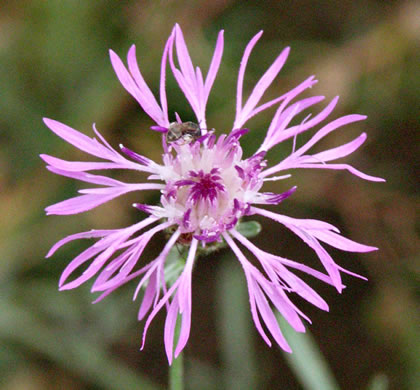 flower of Centaurea stoebe ssp. micranthos, Spotted Knapweed, Bushy Knapweed