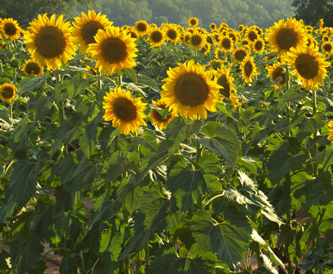 image of Helianthus annuus, Common Sunflower