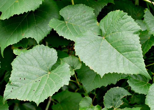 image of Vitis vulpina, Frost Grape, Winter Grape, Chicken Grape