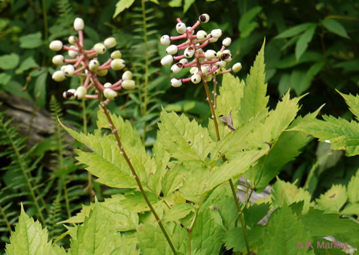 image of Actaea pachypoda, Doll's-eyes, White Baneberry, White Cohosh