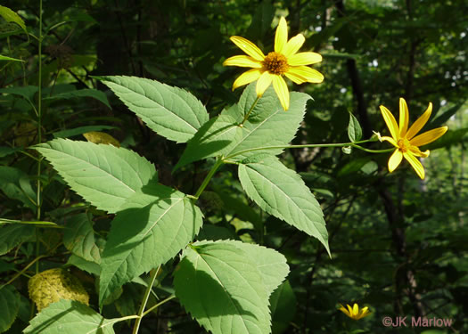 image of Heliopsis helianthoides var. helianthoides, False Sunflower, Eastern Oxeye, Eastern Sunflower-everlasting, Smooth Oxeye