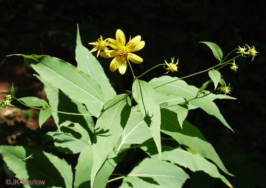 image of Helianthus glaucophyllus, Whiteleaf Sunflower