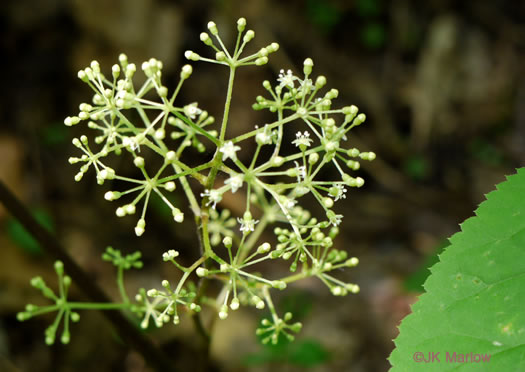 flower of Aralia racemosa, Spikenard
