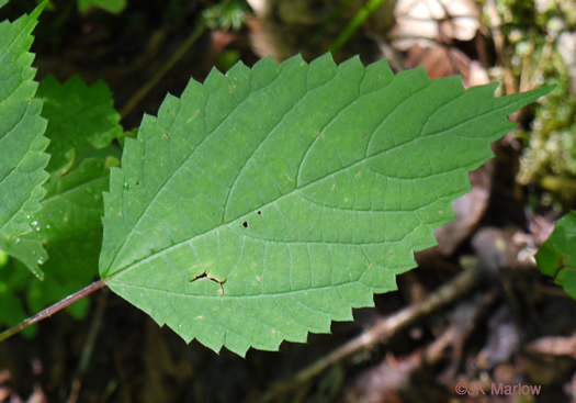 image of Laportea canadensis, Canada Wood-nettle