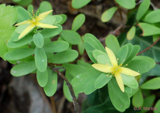flower of Hypericum stragulum, Creeping St. Andrew's Cross, Low St. Johnswort, Straggling St. Johnswort