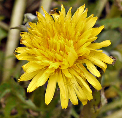 flower of Taraxacum officinale, Common Dandelion