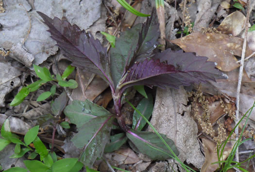 image of Lycopus rubellus, Stalked Bugleweed