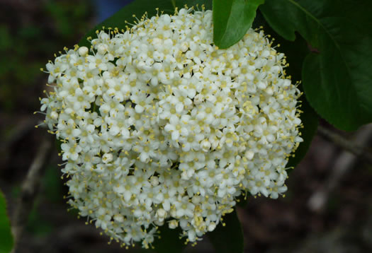 flower of Viburnum rufidulum, Rusty Blackhaw, Blue Haw, Southern Black Haw, Rusty Haw